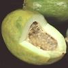Parcha  Passifloraceae_Passiflora_%20quadrangularis_Fruit_R1_IPGRI2