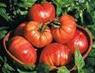 tomate margariteño1